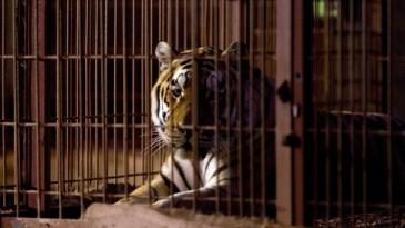 In einem Käfig ruht ein Tiger